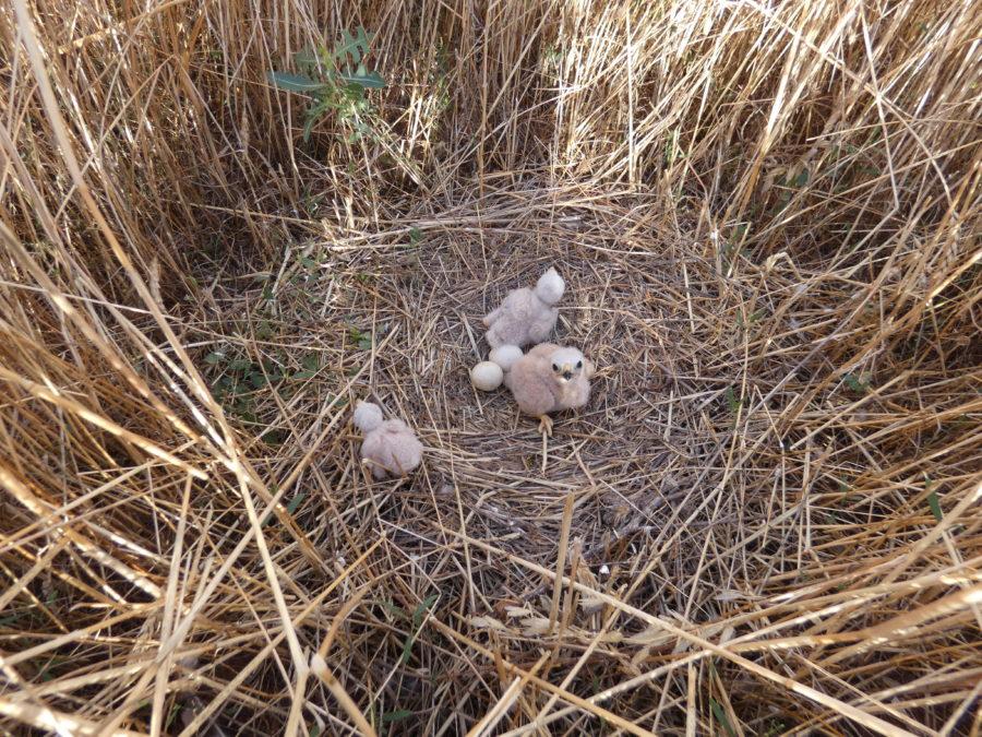 Un esfuerzo necesario para proteger al aguilucho cenizo durante la época de siega en el Campo de Montiel